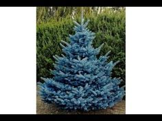 Growing of coniferous plants from seed Growing Tree, Flowering Trees, Trees To Plant, Beautiful Flowers, Garden, Plants, Outdoor, Youtube, Agriculture