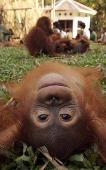 I love orangutans, how could you not!?