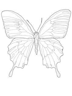 Ulysses butterfly drawing - photo#7