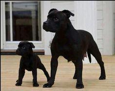 Black Pitbulls