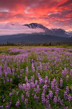 Field of Lupine at sunrise, Chugach National Forest in Kenai Peninsula, Alaska