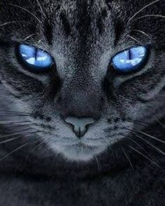 I love cats! cat with blue eyes and gray fur . beautiful and very loved with . - I love cats! cat with blue eyes and gray fur … beautiful and very loved like everyone else! Animals And Pets, Baby Animals, Funny Animals, Cute Animals, Strange Animals, Pretty Cats, Beautiful Cats, Animals Beautiful, Gorgeous Eyes