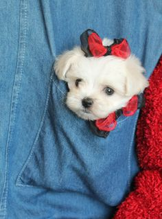 Maltese and Children: Is It a Good Combination - Champion Dogs Cute Puppies, Cute Dogs, Dogs And Puppies, Doggies, Maltese Dogs, Teacup Maltese, I Love Dogs, Puppy Love, Animals And Pets