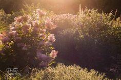 Vaste planten border bij avondlicht. Tuin te Ouderkerk aan den IJssel. Tuinontwerp: De Tuinregisseurs