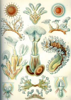 Resultados de la Búsqueda de imágenes de Google de https://upload.wikimedia.org/wikipedia/commons/3/33/Haeckel_Bryozoa.jpg