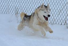 Tovik Siberians web site Dog Training, Husky, Advice, Dogs, Animals, Animales, Tips, Animaux, Dog Training School