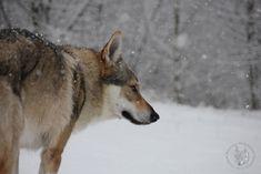 Czechoslovakian Wolfdog Bohun (Quebeck II od Úhoště).