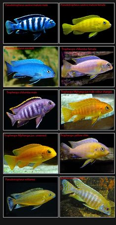 Listing Names of aquarium fish in Alphabetical Order Tropical Freshwater Fish, Tropical Fish Aquarium, Freshwater Aquarium Fish, Cichlid Aquarium, Cichlid Fish, Aquarium Sharks, Jellyfish Aquarium, Malawi Cichlids, African Cichlids