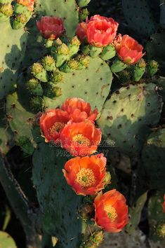 Blooming+Flower+Cactus | Texas Prickly Pear Cactus (Opuntia engelmanni), plant blooming, Laredo ...