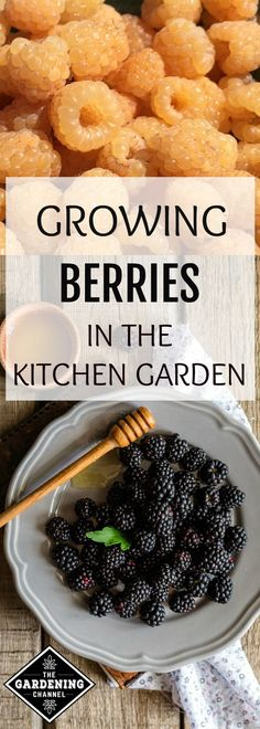 Learn how to harvest more blackberries, blueberries, elderberries, and raspberries from your garden. This guide will step you through the entire growing process, including how to prune!