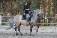 stallion Merveillous - his exact breeding is unknown, but he's described as of Iberian ancestry Dressage, Horse Braiding, Horse Photos, Horse Breeds, Ancestry, Color Inspiration, Spanish, Horses, Horse Stuff