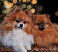 Pommy love. #pomeranian #pomeraniansofinstagram #cutestdogever #allentown #lehighvalley #lehighvalleyphotographer