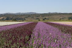 Famous flower fields in Lompoc, California. Located in #SantaBarbaraCounty on California's #CentralCoast // Photo by Rocky Rollins