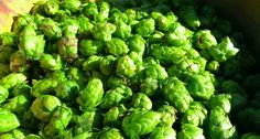 Mighty Axe Hops Releases Free Minnesota Hops Grower's Guide | April 21, 2015 by The Growler