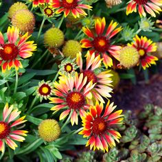 Top 50 Water-Wise Plants | These plants grow effortlessly in low-water conditions and bloom in an array of colors