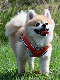 4b7a32e21abd5a423890f52e50f4dcc4 77 best dog harness vests images on pinterest dog harness, vest