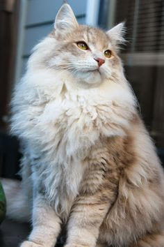 All cats are unique. Individual personality traits are displayed within a particular breed depending on how the cat is raised and his early socialization. Pretty Cats, Beautiful Cats, Long Haired Cats, Siberian Cat, Norwegian Forest Cat, Russian Blue, Maine Coon Cats, Blue Cats, Warrior Cats