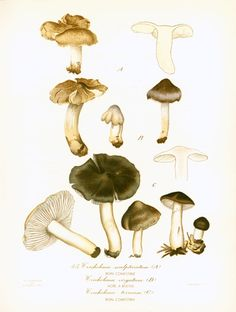 Original print taken from a French 1950's Atlas. Excellent vintage condition. Thick paper. Page size: 22cm x 28.5cm / 8.65 x 11.20 inches.  For more mushroom prints ; www.e... #mycology #edible