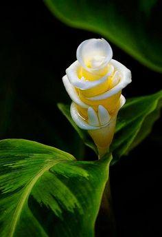 Ginger Flower                                                                                                                                                                                 Más