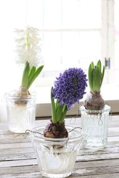 Antique and hyacinth hydroponics Water Garden, Herb Garden, Garden Paths, Indoor Garden, Spring Flowering Bulbs, Bulb Flowers, Green Life, Flower Pictures, Hydroponics
