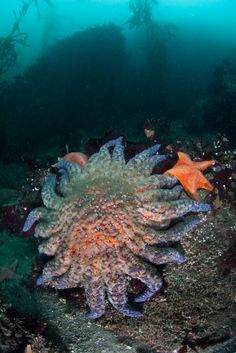 Sunflower star (Pycnopodia helianthoides): The sunflower star is the largest sea star in the world, reaching an armspan of 3.3 feet. That space is taken up by 16-24 arms. They're found along the coast of North America, from Alaska to California, but they're largest in the northern areas.