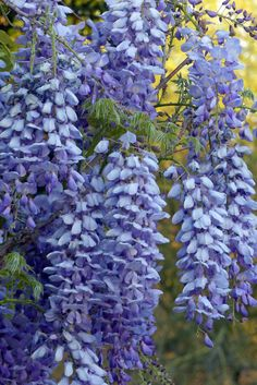 The Chinese Wisteria [Wisteria sinensis] in the Center for Desert Living Trail is breathtaking!