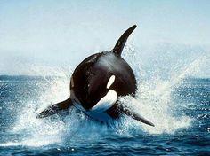 Killer Whale...