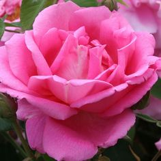 """Park Wilhelmshohe, Vigorous and hardy 5' bush. Once bloomer that produces amazing deep pink, large, double 4"""" blooms that stay on the stem for weeks. Good in zones 6-10."""