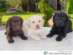 Cant wait til the day that I have a black lab, yellow lab, and chocolate lab! Simultaneously!!!! So precious