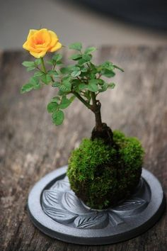 Kokedama, or moss balls ... this one has a miniature yellow rose growing in it √