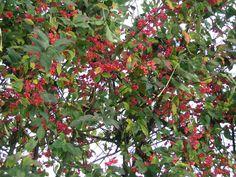 """Pfaffenkapperl"" :D. Thuja, Red, Photos, Cherries"