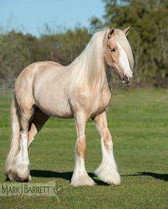 1575-131.jpg :: Gypsy Vanner Horse filly