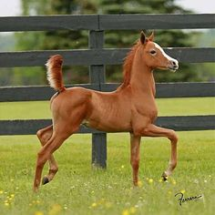 Beautiful Arabian Foal In A Grass Field!