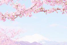 """amekori: """" """" 桜と富士山 by 田中十洋 ☆ """" """""""