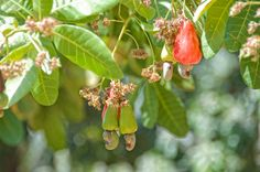 cashew tree - one of the many fruit trees on the grounds of our resort at the royal decameron, panama, central america