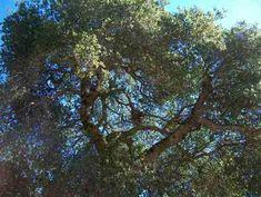 How to rehabilitate your California native oaks.