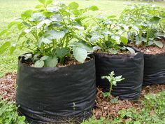 Growing potatoes in bags