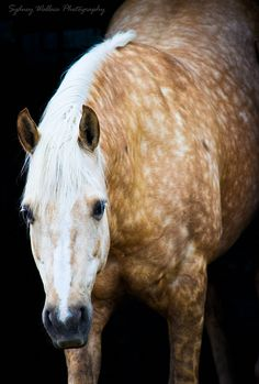 That Dappled Palomino Horse is going Grey because of its whitish head. When it reaches its teens, no one would ever known that in its youth it was a beautiful dappled palomino. All The Pretty Horses, Beautiful Horses, Animals Beautiful, Cute Animals, He's Beautiful, Horse Photos, Horse Pictures, Arte Equina, All About Horses