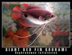 red Giant Gourami   photo size: medium 640