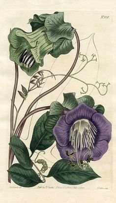 Climbing Cobaea (Cobaea scandens) Curtis's Botanical Magazine (England , 1805)