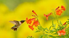 The ruby-throated hummingbird in today's homepage image is snacking on some yellow bells in the Texas Hill Country, preparing for its l...