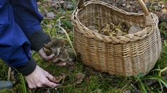 Näin käsittelet sienet Wicker Baskets, Stuffed Mushrooms, Tips, Food, Decor, Dekoration, Decoration, Essen, Yemek