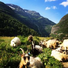 Goats, Travel, Animals, Viajes, Animales, Animaux, Destinations, Animal, Traveling
