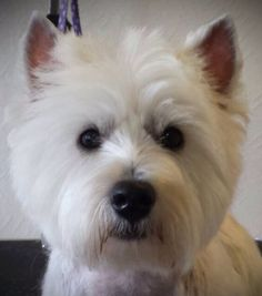 Pet Westie head using scissors and thinners. Groomed every 4 to 6 weeks  Brushed daily. Groomer Jessica Drenthen. UK