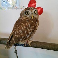 木の枝いいかんじ~ #ふくろうの里原宿店 #ふくろうの里 #ふくろう #ふわもこふくろう部 #コキンメフクロウ #おはぎ #木 #ふわもこふくろう部 #原宿 #動物 #猛禽類 #owlvillageharajuku #owlvillage #owl #ohagi #yellow#branch #harajuku #Japan #tokyo #animal #cafe #ride