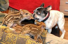 The Bulldog With The Piglets | The Bulldog With The Piglets