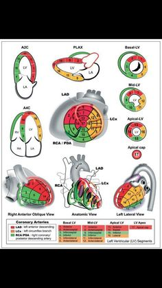 """Take time to learn your coronary artery territories on so you can correlate wall motion with Cardiac Anatomy, Cardiac Sonography, Heart Anatomy, Nuclear Medicine, Cardiac Nursing, Medical Technology, Technology Careers, Technology Innovations, Technology Articles"