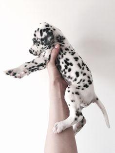 I DIE... #Dalmatian #Puppy