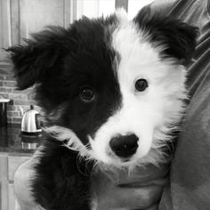 Dani! The baby Border Collie