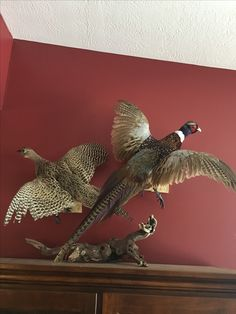Pair of Pheasant Pheasant Mounts, Pheasant Hunting, Deer Hunting Tips, Media Room Design, Waterfowl Hunting, Wildlife, Men Cave, Creatures, Remodels
